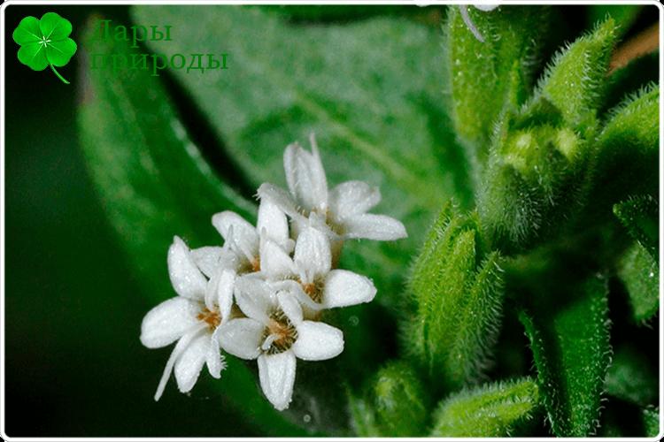 цветки стевии
