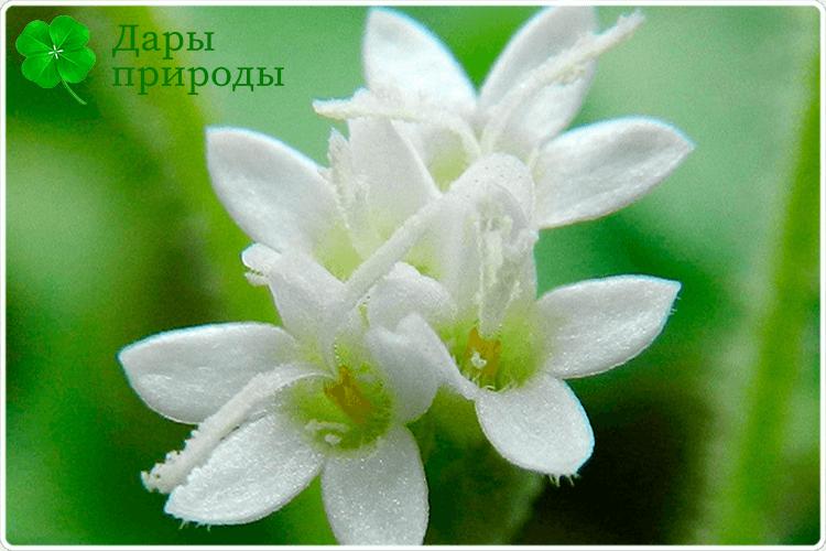 цветущая стевия